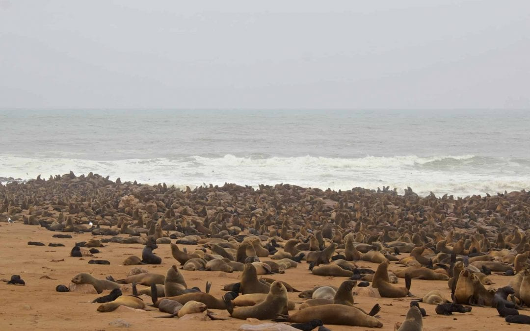 Smelly Seal Colony: Cape Cross