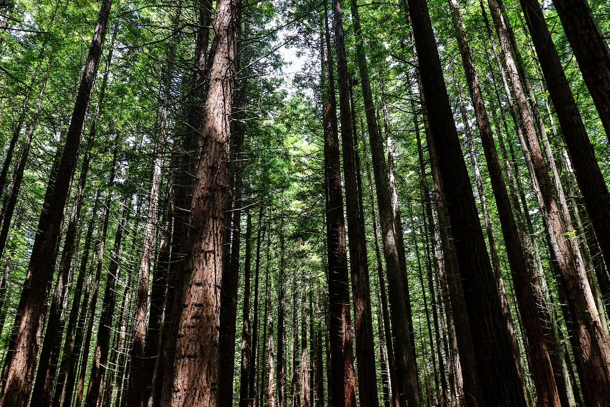 redwood forest in new zealand