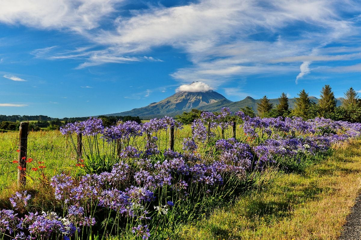 purple flowers are in the foreground, while a volcano is in the background; it's a beautiful blue sunny day