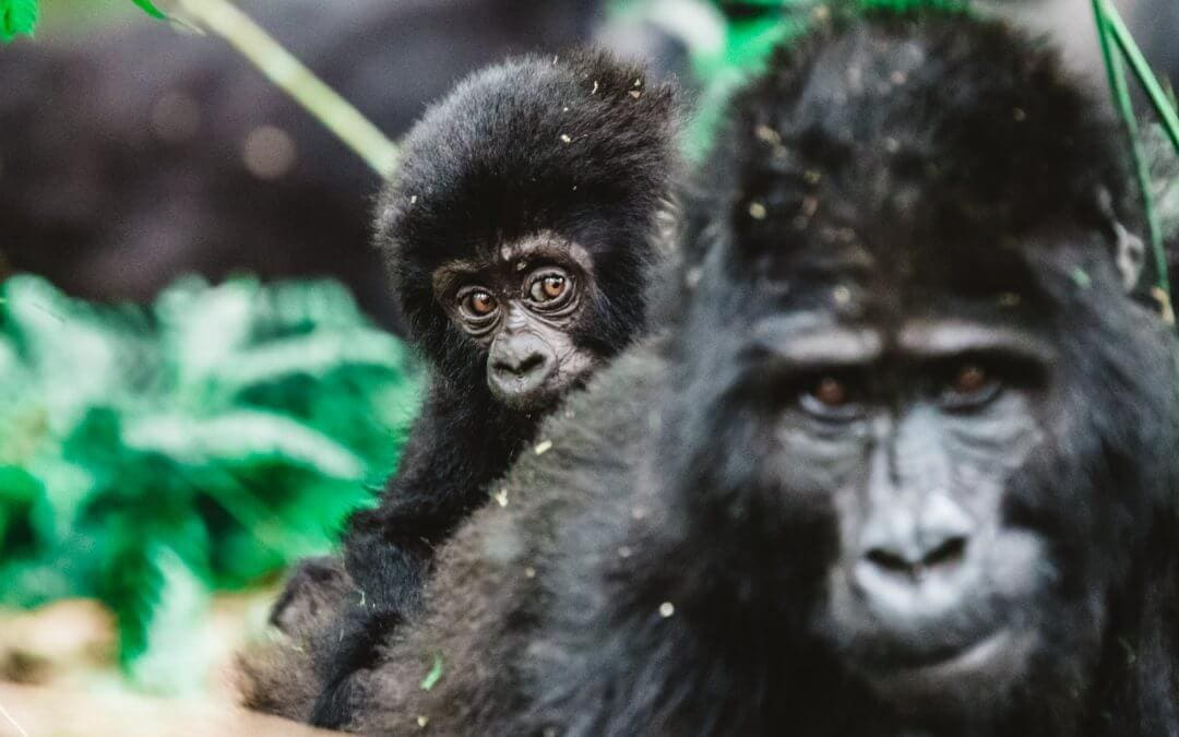 Gorilla Tracking in Uganda!