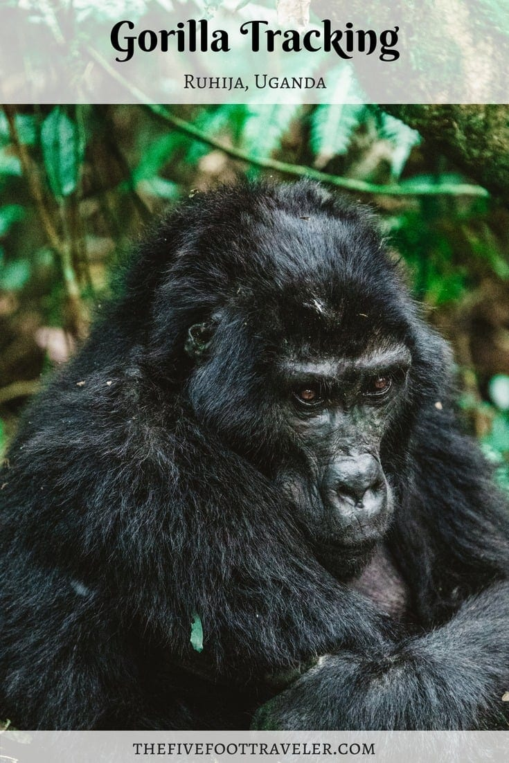 If you're looking for a once-in-a-lifetime experience, look no further than Bwindi Impenetrable National Park. Make your way to Uganda to go Gorilla Tracking! This has been top of my bucket list for years, and it surely didn't disappoint! Prepare to be amazed by these large primates in their natural habitat. Read more at www.thefivefoottraveler.com