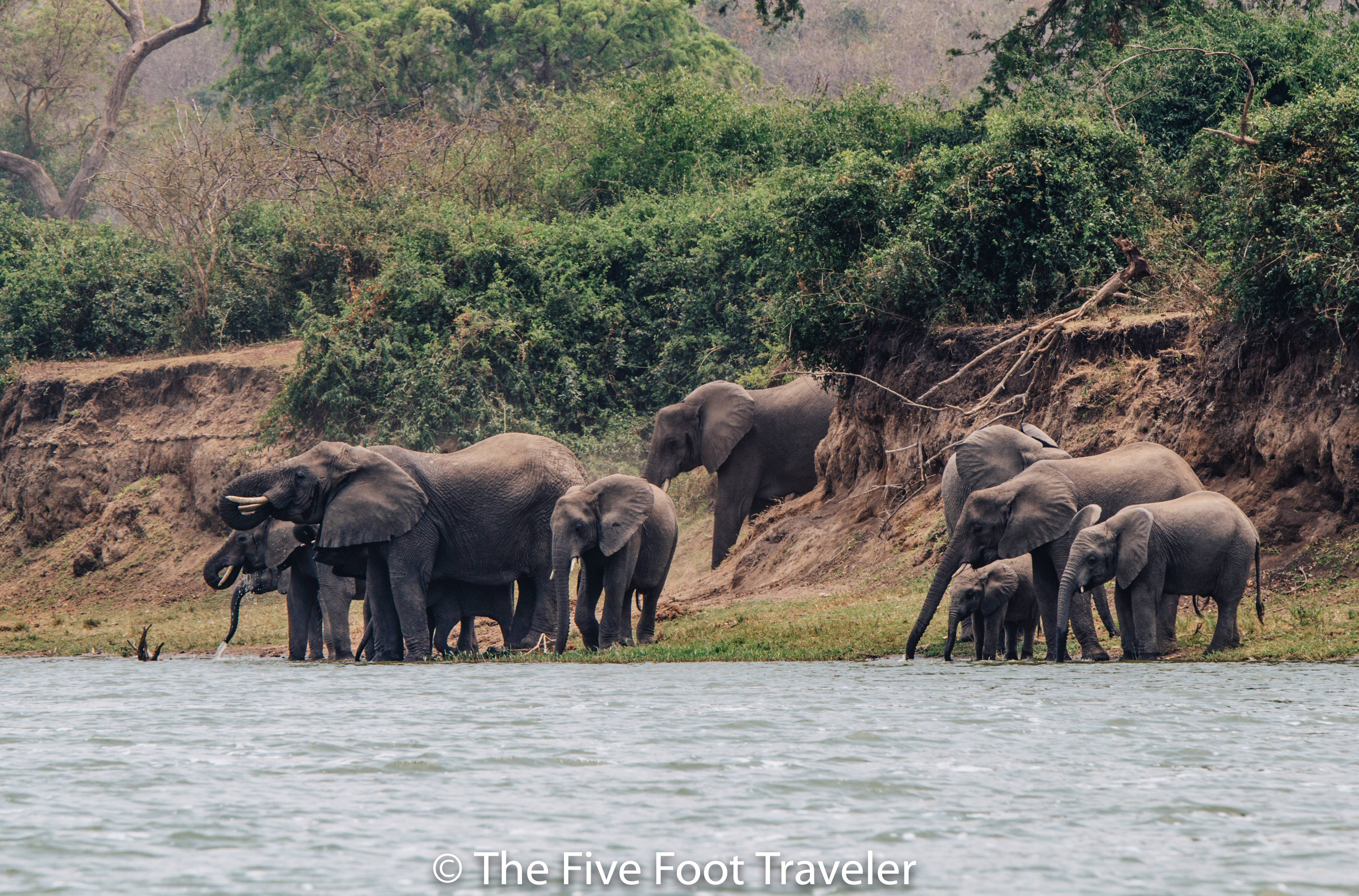 In Queen Elizabeth National Park, we took a river cruise on a small boat down the Kazinga Channel so we could see the animals from the water. From hippos to crocs to water buffalo and elephants, it was an experience to remember. Read more at www.thefivefoottraveler.com
