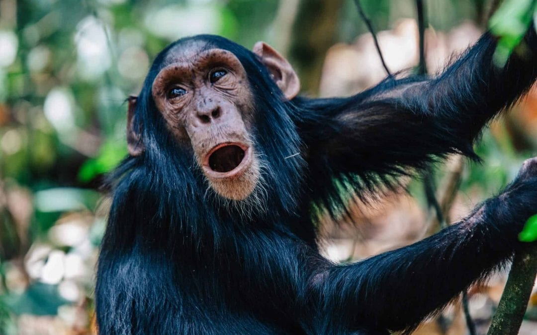 Chasing Chimps: Tracking the Closest Species to Man