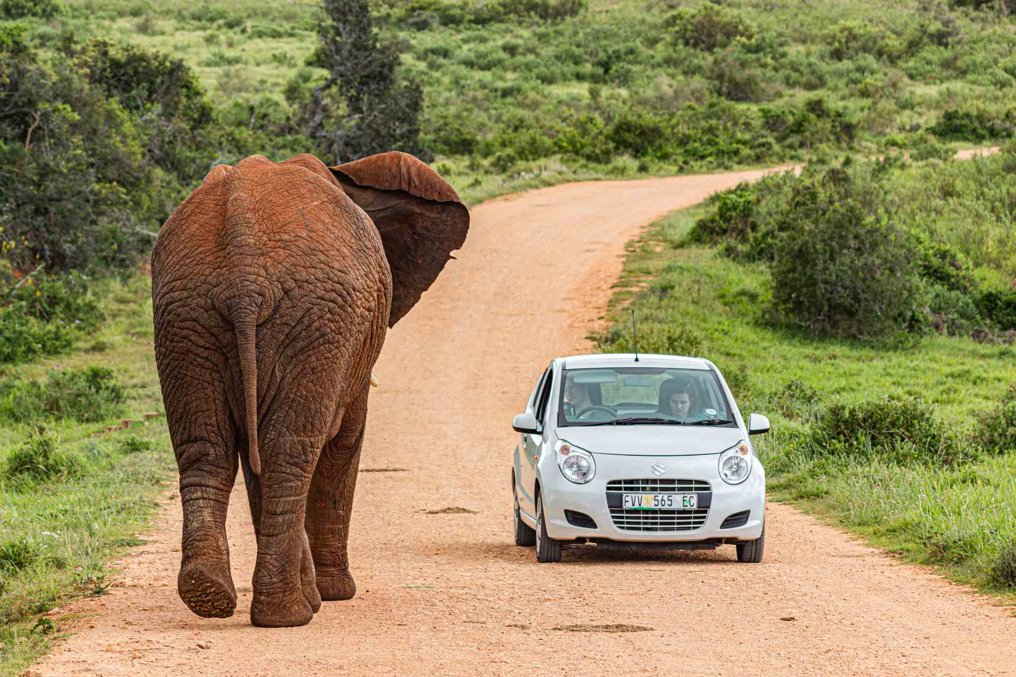 a small white car is pictured next to a large muddy elephant in the middle of an empty dirt road