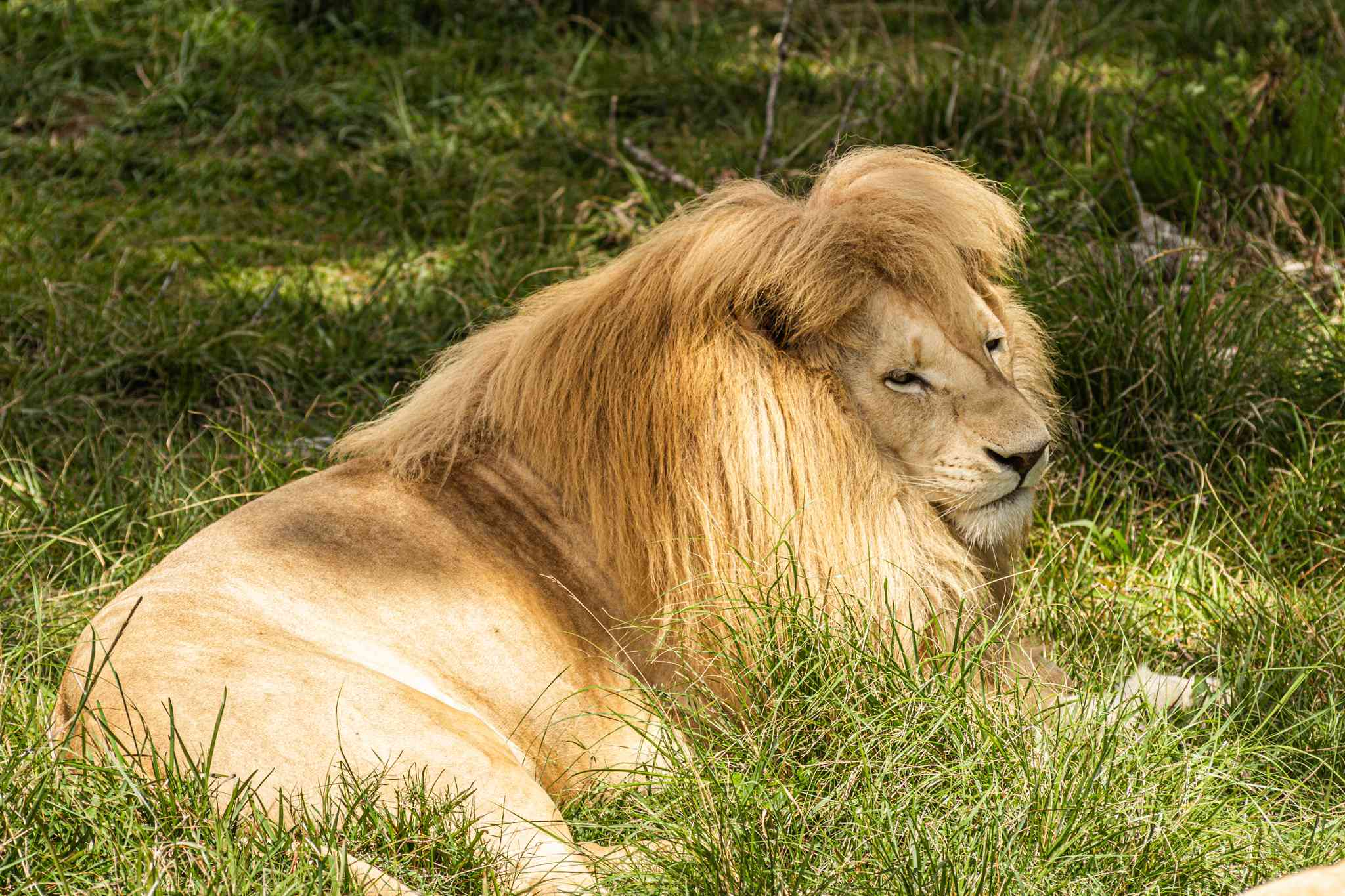 a white lion - a lion with a much lighter mane - is protected within the jukani wildlife sanctuary; definitely worth seeing on your south africa vacation