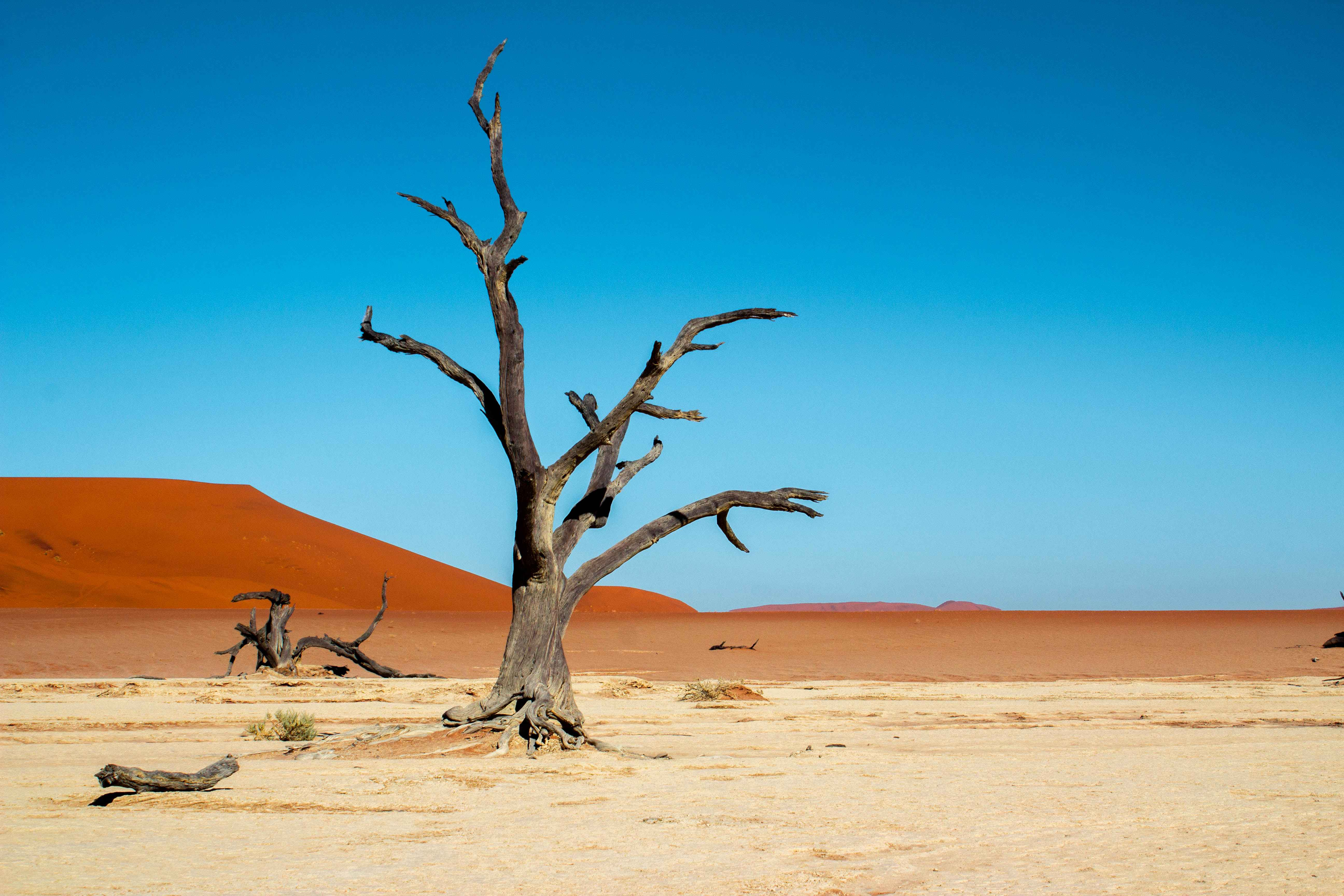 a starl, dead acacia tree stands by itself on a salt pan in the middle of the namibian desert, with dark orange sand dunes in the background