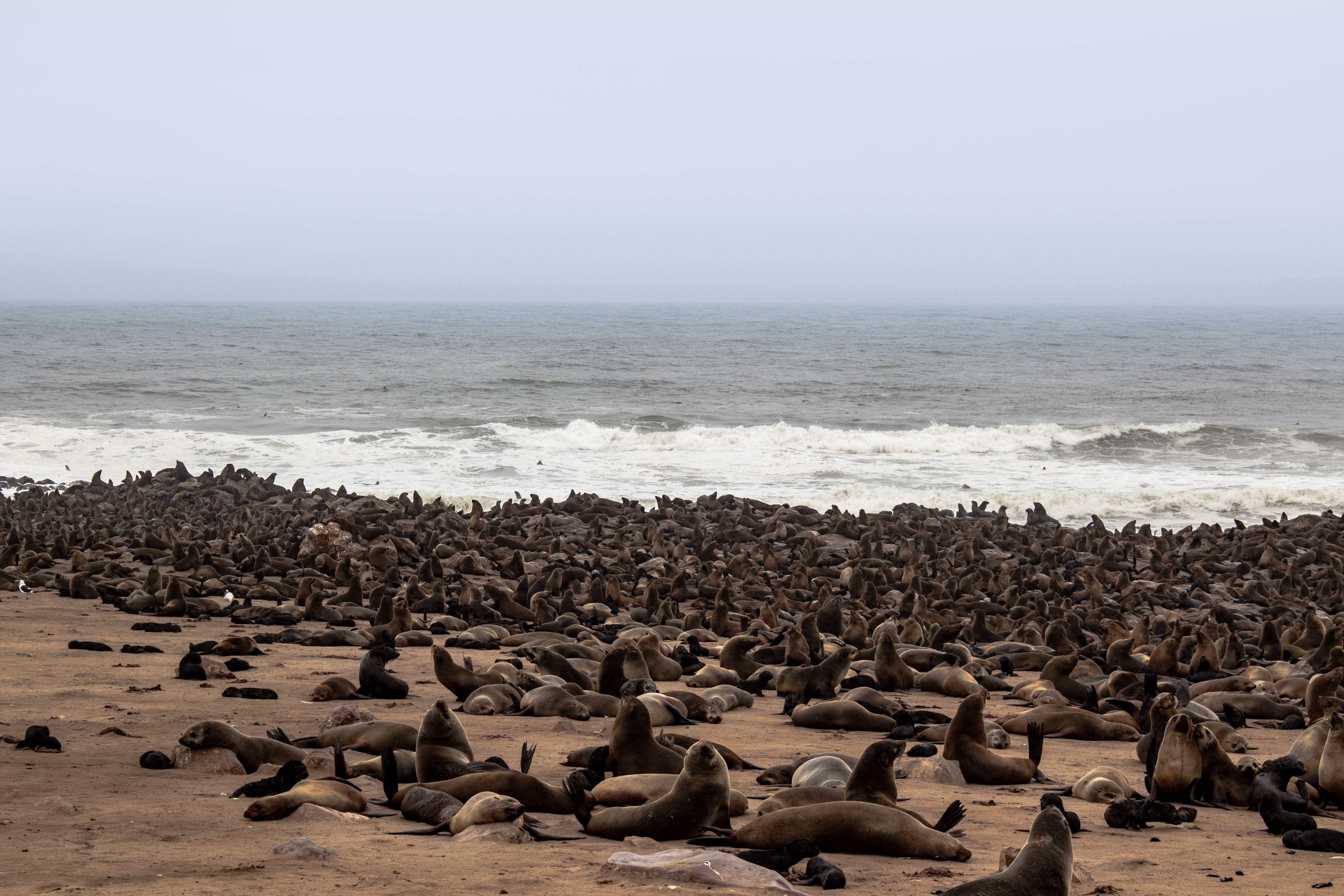 thousands of seals on the beach in namibia on an overcast day