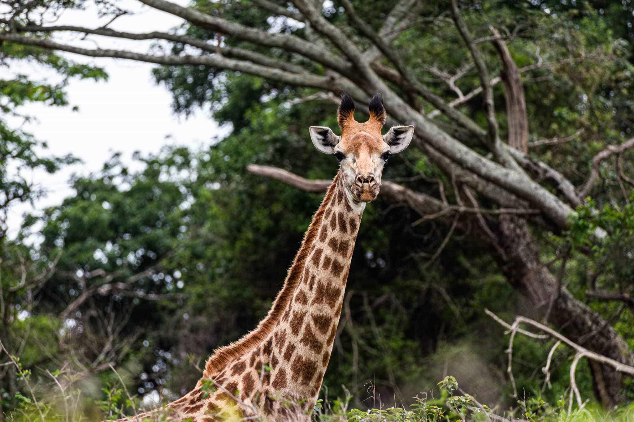 a giraffe stands alone in the bush, staring into the camera