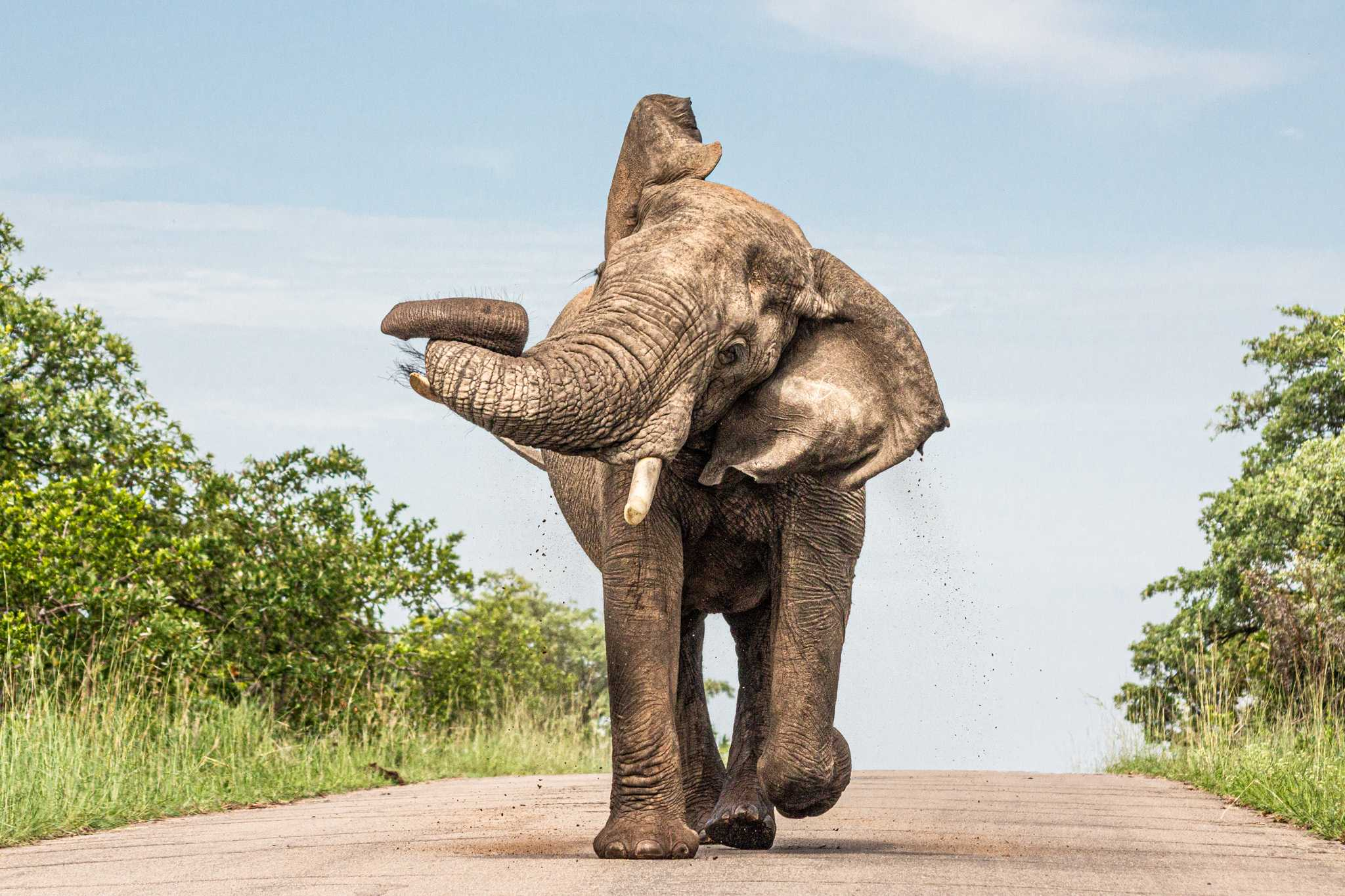 male elephant stands alone on the road swinging it's trunk as dirt flies off his back; this was a favorite moment on my South Africa vacation