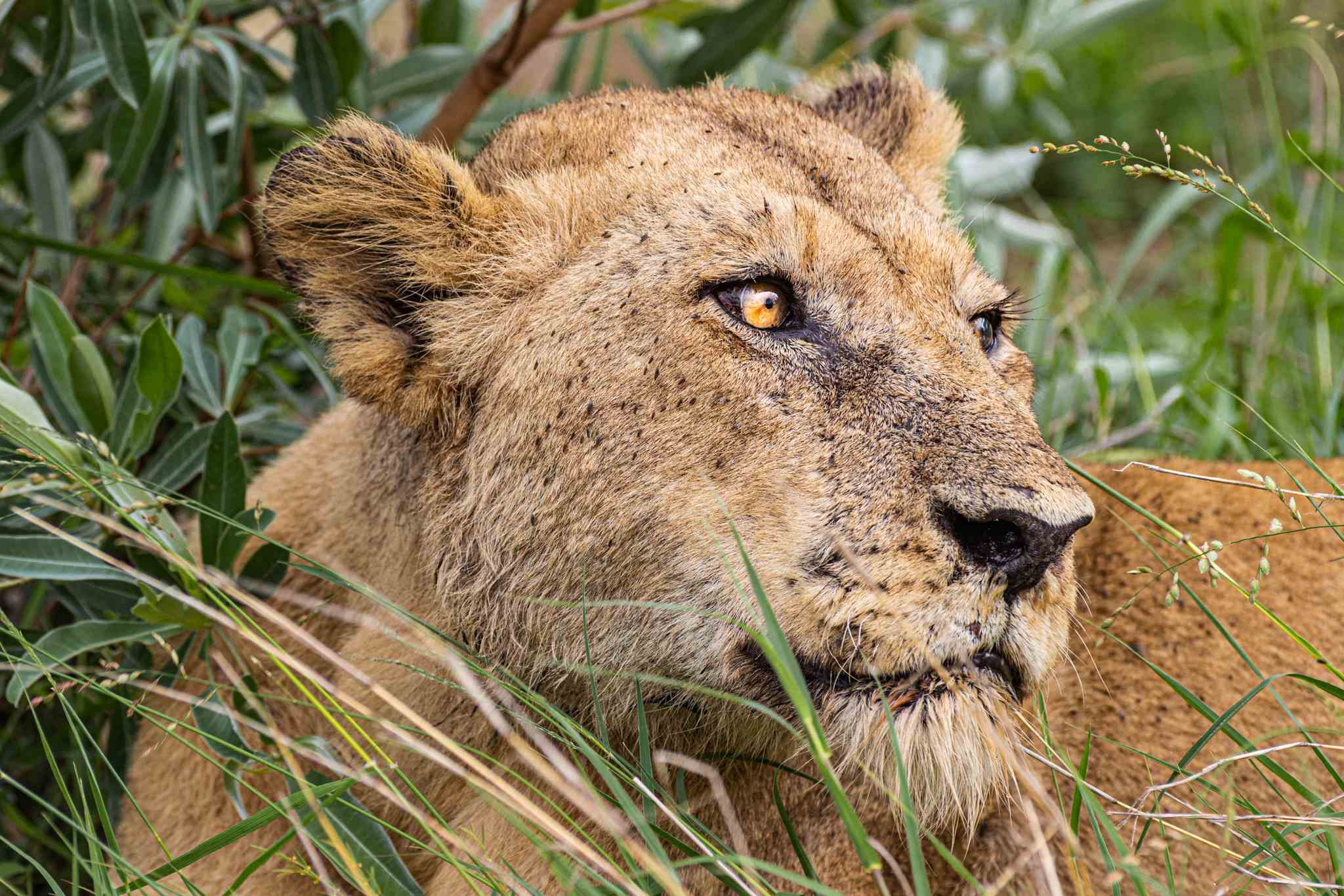 a close up of a female lion gazing off into the distance; could you imagine seeing this on your South Africa vacation?