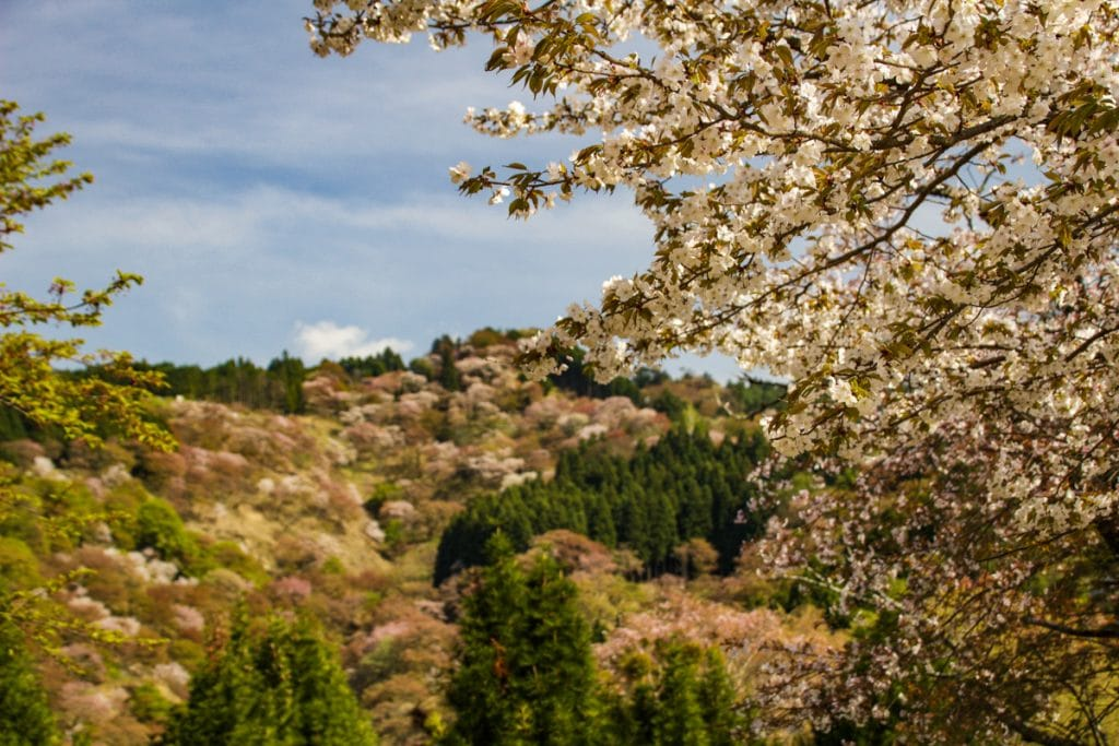cherry blossom tree in yoshino - places to visit in japan