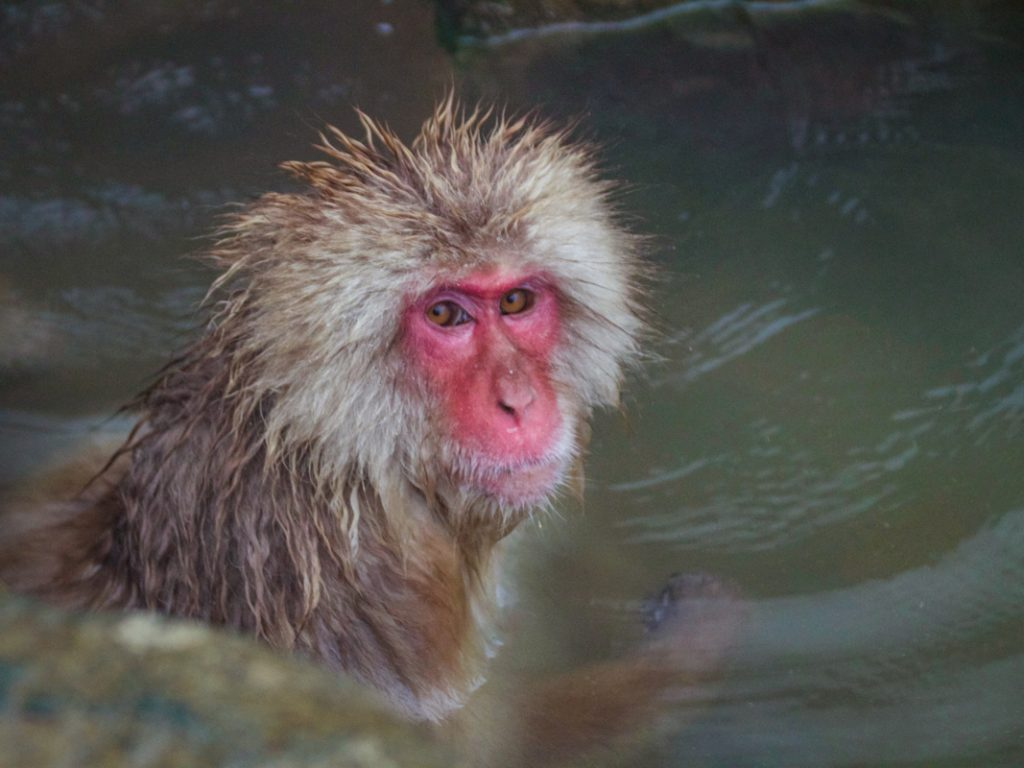 snow monkey in hotspring - yamanouchi, japan - places to visit in japan