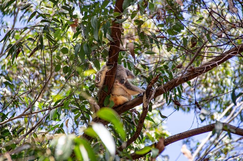 a koala spotted in a tree