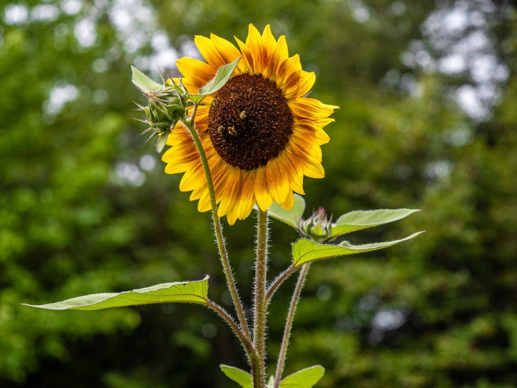 a sunflower at the west virginia botanic garden